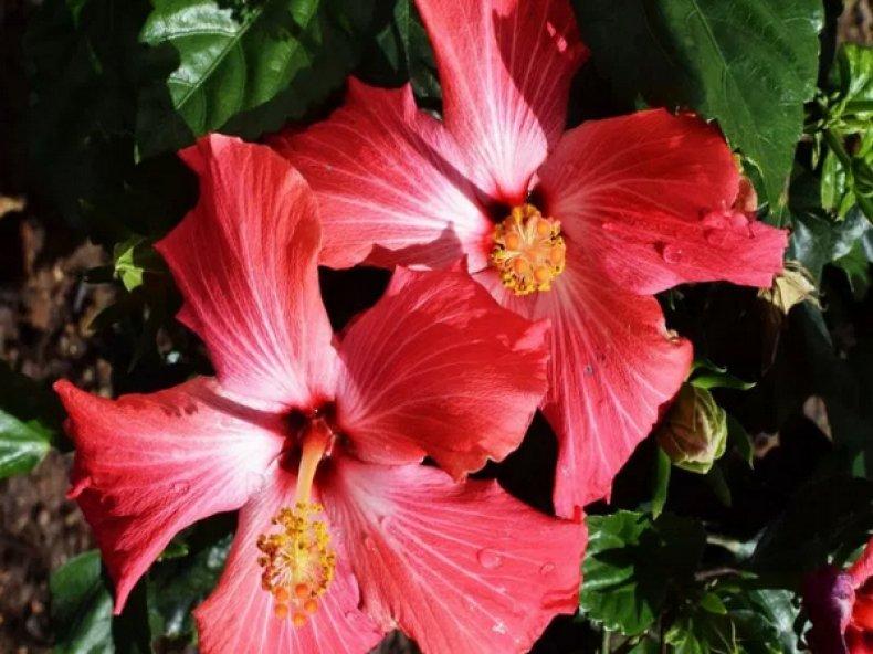 a jamaikai virág tulajdonságai a fogyáshoz