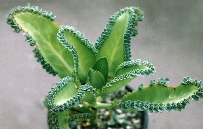 Каланхоэ очень высокий что делать. Как обрезать каланхоэ после цветения и в вегетационный период