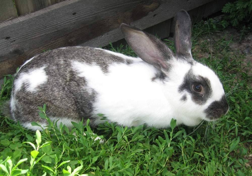 Кролики великаны: сколько весит кролик великан?