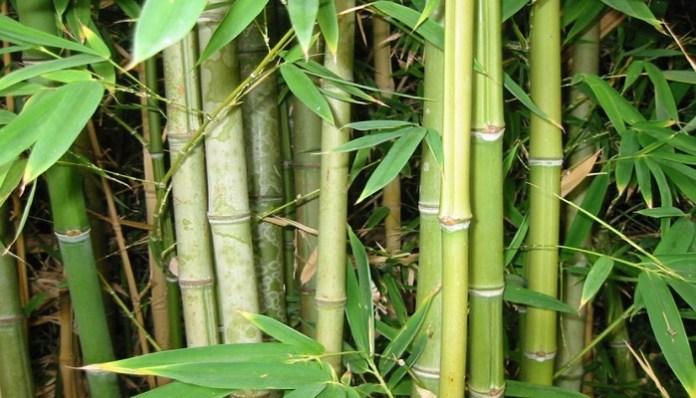 Bambú como planta acuática