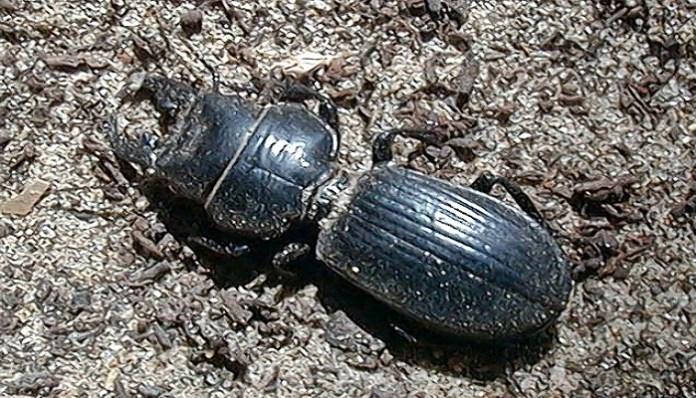 Coleóptero Carabidae