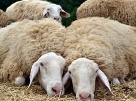 Características de las ovejas