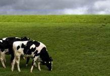 Alimentación para vacas