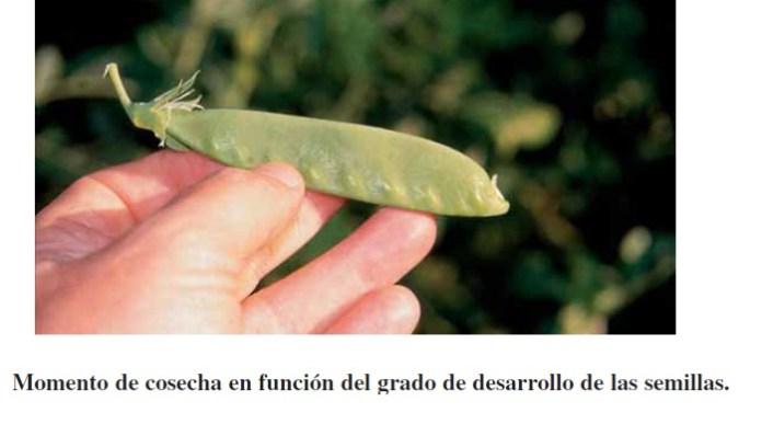 Maduración en leguminosas