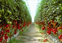 producción de tomate bajo invernadero