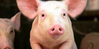 alimentos utilizados para cerdos de engorde