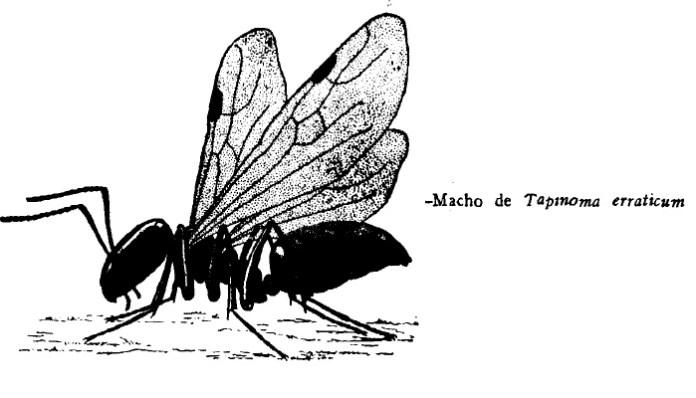 Tapinoma erraticum macho
