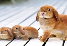 gestación de un conejo