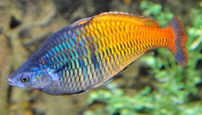 descripción del pez arcoiris