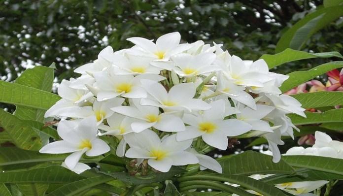 flor jazmín