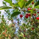 Белорусская черешня: как получить хороший урожай