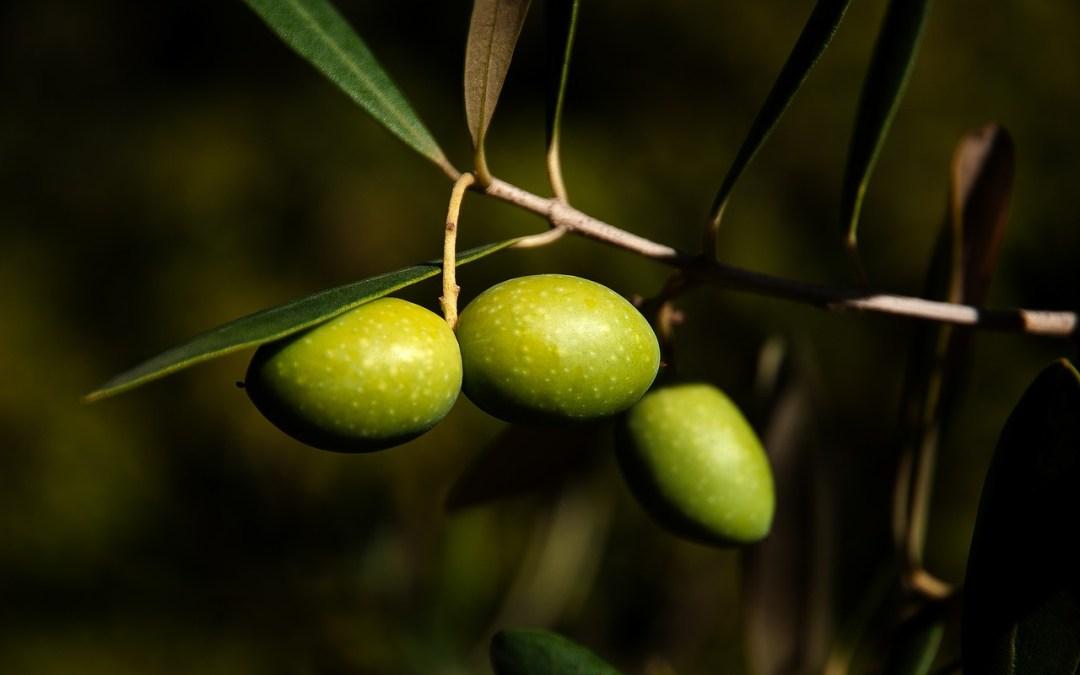 Retraso en la maduración de la aceituna