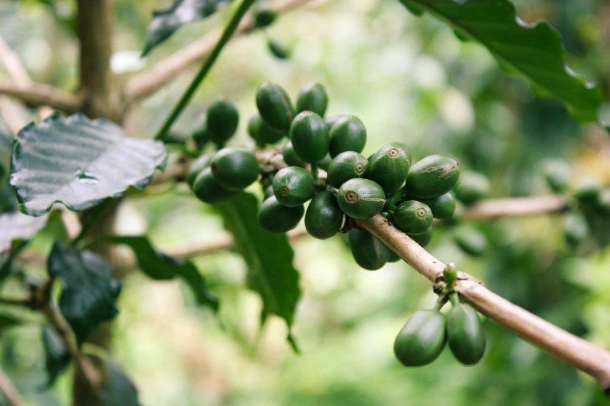 Pragas do café: as principais pragas no contexto do MIP.