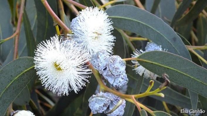 Conheça os principais tipos de eucalipto!