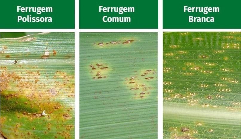 Doenças do milho - Ferrugem
