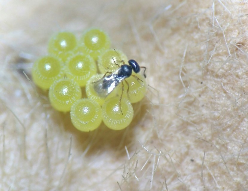 Parasitoides agentes no controle biológico de percevejo