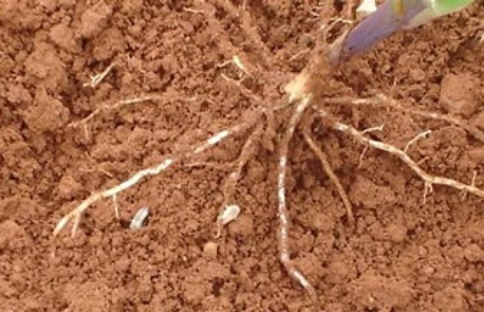 Percevejo-castanho-da-raiz (Scaptocoris castanea)