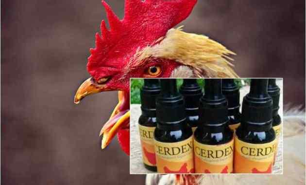 Penyebab Ayam Ngorok dan Cara Menggunakan CERDEX Spray Pada Ayam