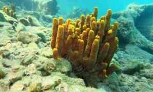 Apa Itu Sponges Karakteristik, Pencernaan, Bentuk dan Klasifikasi