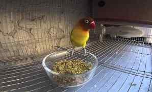 Cara Mengatasi Over Birahi Pada Burung Lovebird