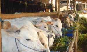 10 Ciri Ternak Yang Sedang Sehat dan Sakit