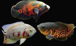 Ikan Oscar : Ciri, Jenis, Sifat dan Keunikan