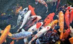 19 Jenis dan Harga Ikan Koi 2021