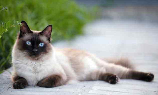 6+ Cara Melatih Kucing Siam Dengan Baik dan Benar
