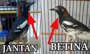 8 Cara Membedakan Burung Anis Kembang Jantan dan Betina