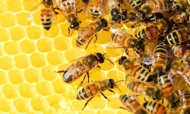 Ciri, Klasifikasi, Habitat, Makanan dan Jenis Lebah Madu