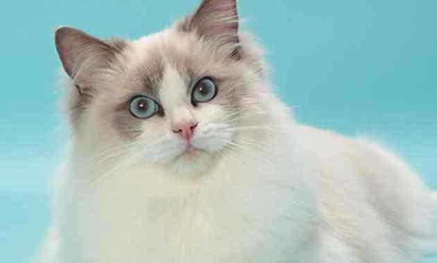 Ciri, Sifat Dan Fakta Unik Kucing Ragdoll