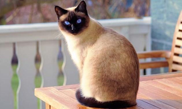 Jenis Makanan Kucing Siam Terbaik Untuk Pertumbuhan