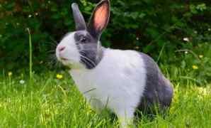 Klasifikasi, Morfologi dan Jenis Kelinci