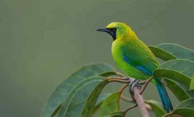 Taksonomi, Morfologi, Habitat dan Harga Burung Cucak Ijo