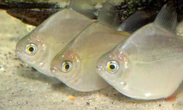 Cara Memelihara (Budidaya) Ikan Silver Dollar