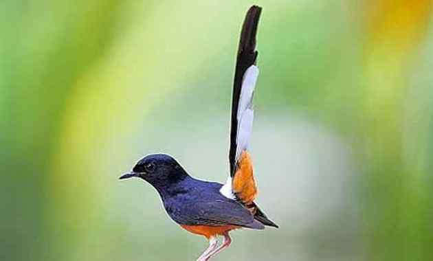 Cara Ternak dan Memelihara Burung Murai Batu