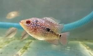 10 Cara Memilih Bibit Ikan Louhan yang Berkualitas