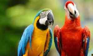 Cara Membedakan Burung Macaw Jantan dan Betina