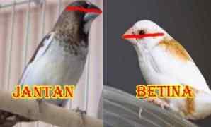 Cara Membedakan Burung Pipit Jantan dan Betina
