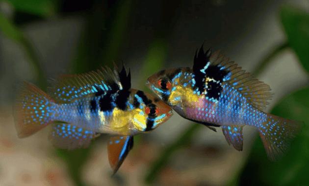 Cara Membedakan Ikan Ramirezi Balon Jantan dan Betina