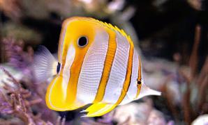 Cara Ternak Ikan Butterfly Fish Untuk Pemula