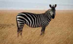 Hewan Zebra Ciri, Taksonomi dan Habitat
