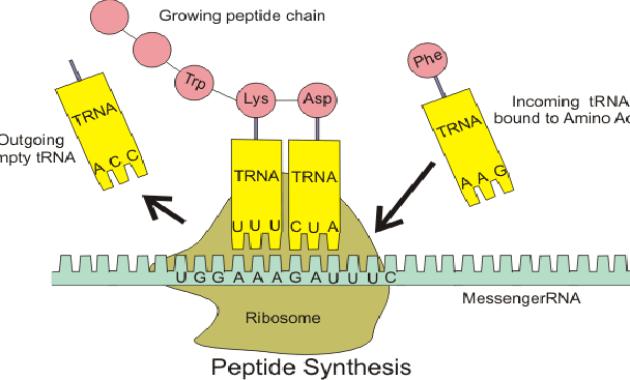 Fungsi dan Manfaat tRNA