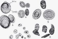 Penjelasan Mengenai AmilumPada Tanaman