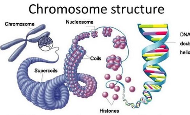 Pengertian Kromosom Adalah : Ciri, Bagian dan Macam-macam Kromosom