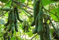 Cara Budidaya Tanaman Kacang Koro Terbukti Berhasil