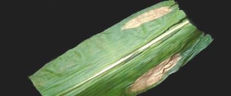 maiz-tizon-web
