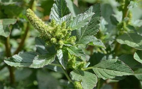 YuyoColorado-Verde w