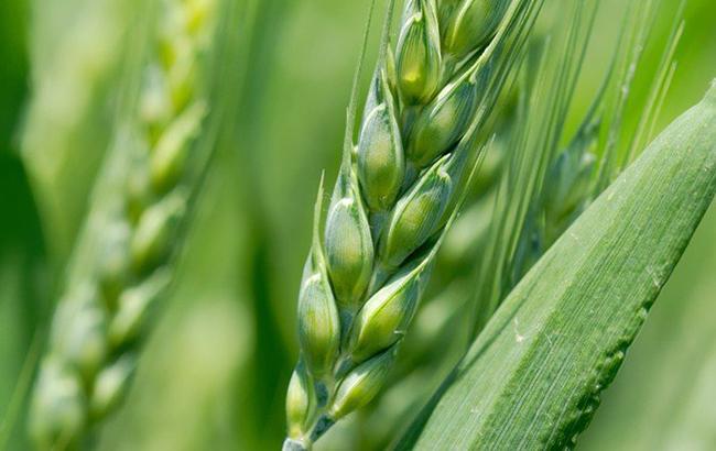 Trigo-espigas verdes w