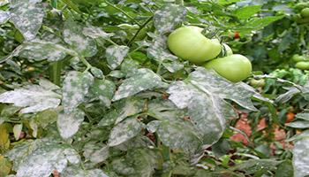 Oidiopsis en tomates